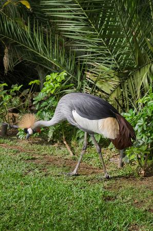 Crowned crane exotic bird.