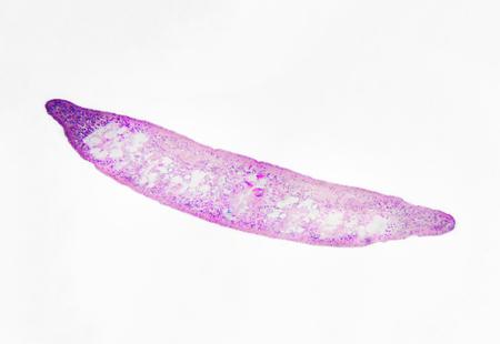 Microscopic photography. Planaria, transversal section. 写真素材