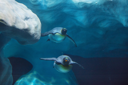Penguins swimming underwater Stock Photo