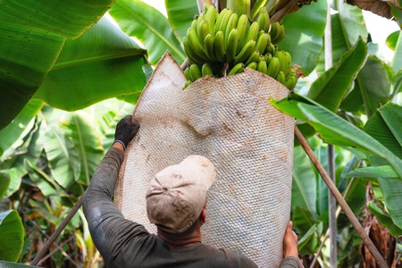 farmer carrying green banana bunch on farm