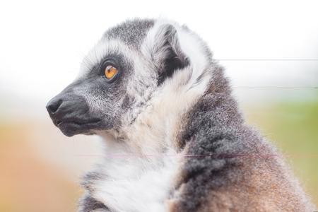 Portrait of a cute ring tailed Lemur, Lemur Catta.
