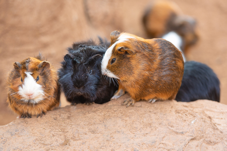 Cute Guinea pigs, Cavia Porcellus.