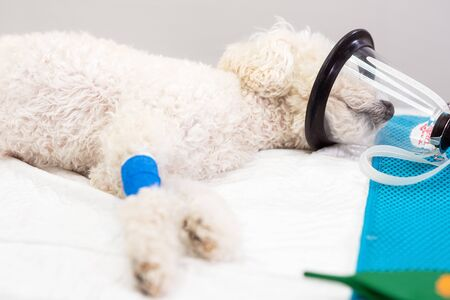 Preoxygenation in a sedated white poodle with a mask prior to intubation. 版權商用圖片
