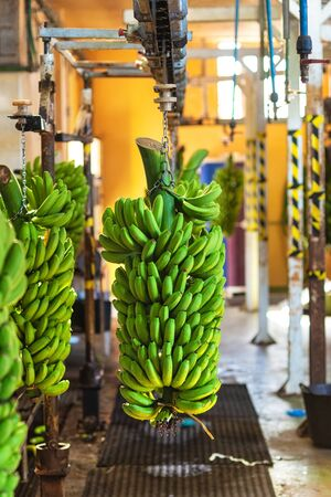 Bunches of banana hanging in Banana packaging plant. Food industry .