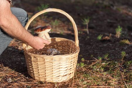 Man with wicker basket collecting mushrooms in forest. Autumn nature.