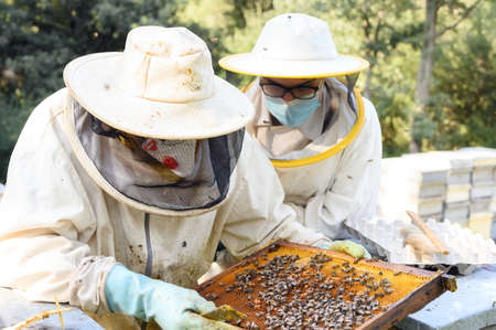 Beekeeper on apiary. Beekeeper is working with bees and beehives on the apiary. Stock Photo