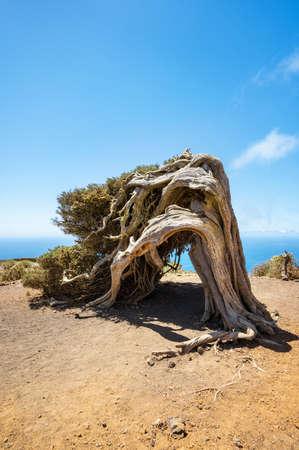Juniper tree bent by wind. Famous landmark in El Hierro, Canary Islands Stock Photo