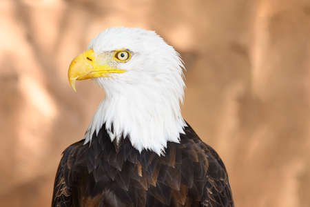 Close up on the face of a Bald Eagle in natural environment. High quality photography