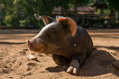 Happy piglet in the sand
