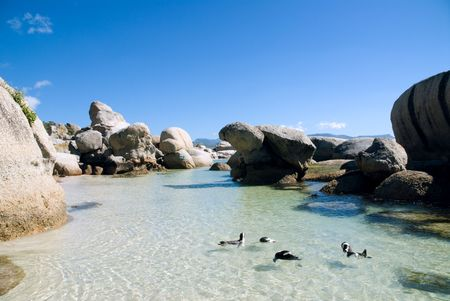 Group of pinguins go for a swim at Boulders Beach, Cape Town