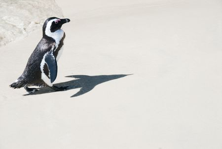 Cute jackass pinguins shadow looks like a rocket