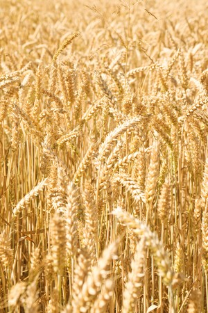 Full frame close up of wheat Stock Photo