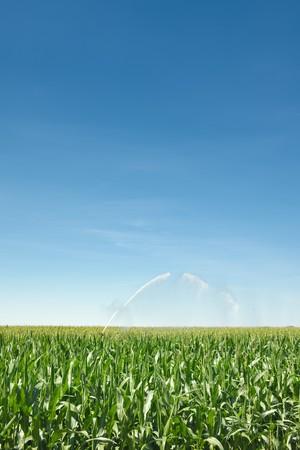 Irrigation of a green cornfield Stock Photo