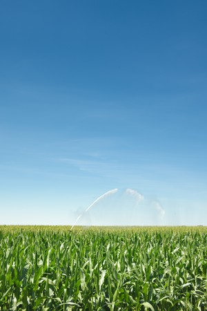 Irrigation of a green cornfield Stock Photo