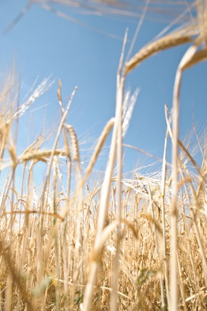 Wheat ear against blue sky