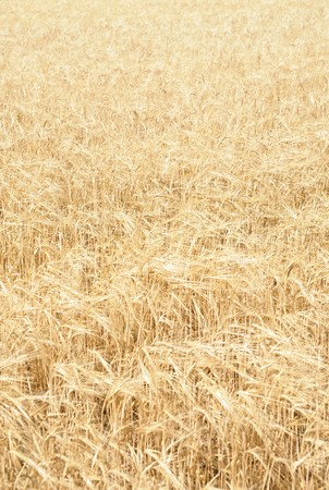 Full frame yellow field of wheat Stock Photo