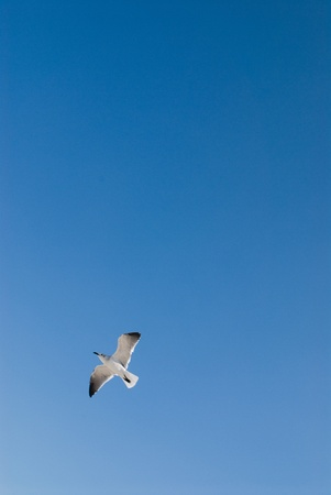 Single seagull in front of clear blue sky