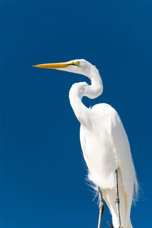 White egret in front of deep blue sky