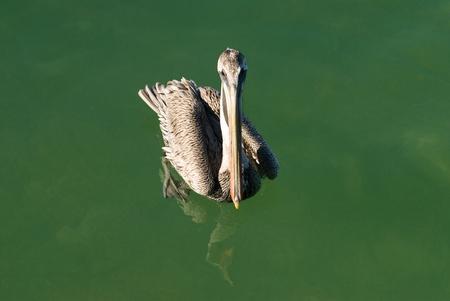 Brown pelican swimming on green water