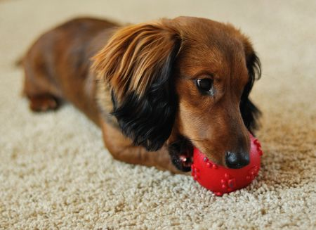 dachshund: A  long-haired miniature dachshund playing with red ball Stock Photo