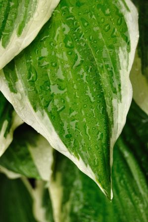 variegated: Close-up of Variegated Hosta leaves with raindrops