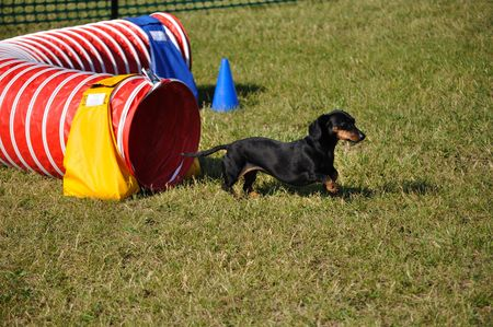 doxie: Black Miniature Dachshund Leaving Red Agility Tunnel, copy space