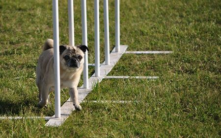 Pug weaving through weave poles at dog agility trial, copy space Stock fotó - 5041272