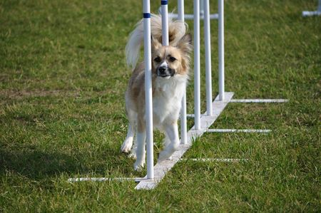 Mixed-Breed weaving through weave poles at dog agility trial, copy space Stock fotó - 5055103