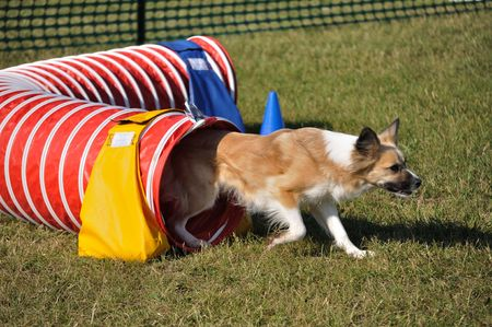 Mixed-Breed Dog Exiting Red Agility Tunnel, copy space Stock fotó