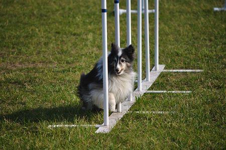 dog agility: Shetland Sheepdog (Sheltie) weaving through weave poles at dog agility trial, copy space