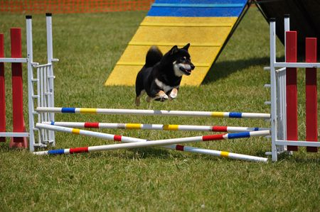 dog agility: Shiba Inu leaping over a double jump at dog agility trial, copy space, vertical