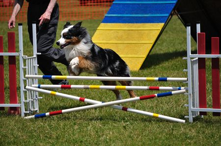 dog agility: Australian Shepherd (Aussie) leaping over a double jump at dog agility trial, copy space, vertical Stock Photo