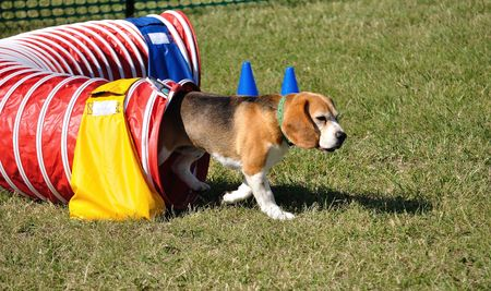 Beagle Leaving Red Agility Tunnel, copy space Stock fotó