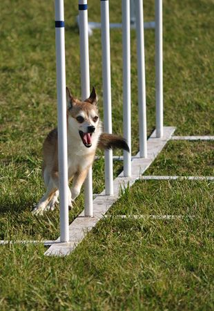 dog agility: Norwegian Lundehund  weaving through weave poles at dog agility trial, copy space