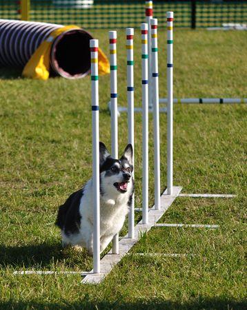 dog agility: Pembroke Welsh Corgi weaving through weave poles at dog agility trial, copy space,vertical