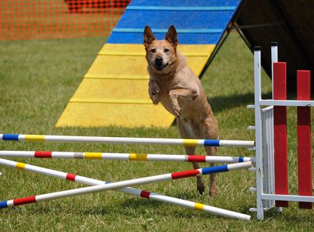 large dog: Large dog leaping over a double jump at  agility trial, copy space