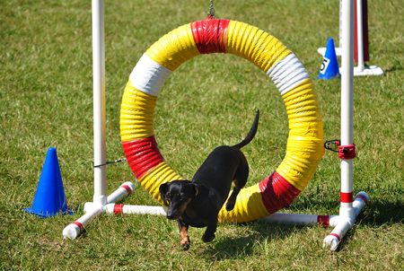 space weather tire: Black Miniature Dachshund Jumping through an Agility Tire, copy space Stock Photo