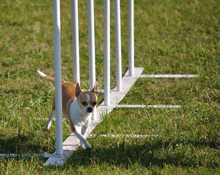 dog agility: Chihuahua weaving through weave poles at dog agility trial, copy space, horizontal