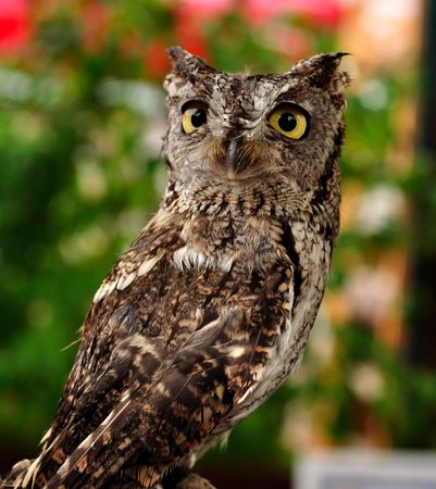 Female Western Screech Owl, Full Grown Adult, Vertical photo