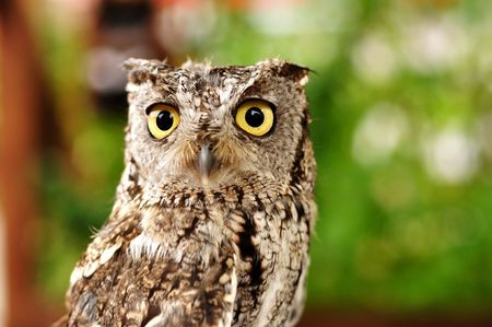 Female Western Screech Owl, Full Grown Adult, Copy Space photo