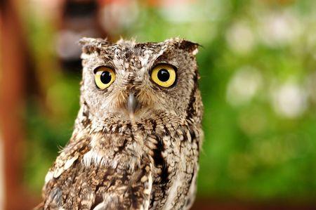 Female Western Screech Owl, Full Grown Adult, Copy Space photo