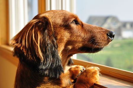 Long Haired Miniature Dachshund Looking out a Window photo