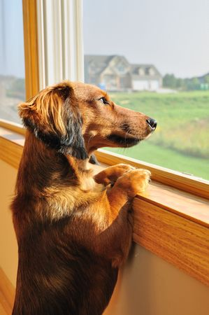 dachshund: Long Haired Miniature Dachshund Looking out a Window