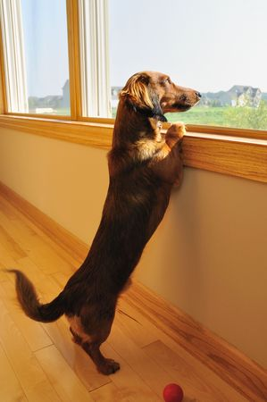 Long Haired Miniature Dachshund Looking out a Window with Blurred Wagging of Tail photo