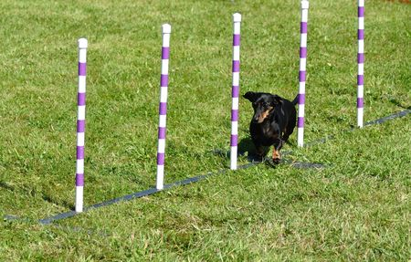 Black miniature dachshund weaving through weave poles at dog agility trial, copy space