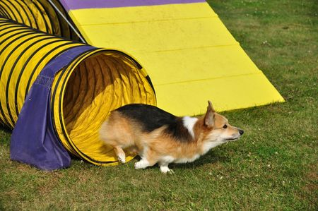 dog agility: Pembroke Welsh Corgi Leaving Yellow Tunnel at Dog Agility Trial, copy space Stock Photo