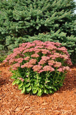 paillis: Floraison Sedum automne Joy avec paillis et �pinette arbre