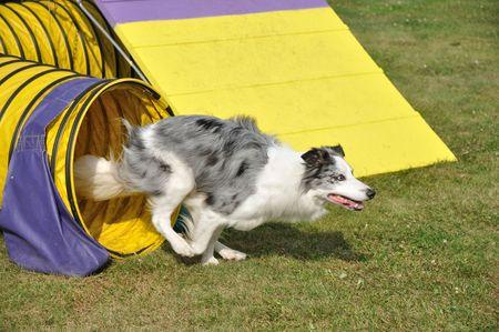 Blue Merle Australian Shepherd Leaving Yellow Tunnel at Dog Agility Trial