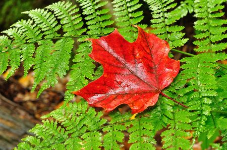 A Single Red Maple Leaf on a Fern in Autumn photo