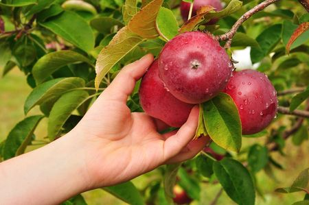 Picking a Ripe Red Apples Covered with Raindrops
